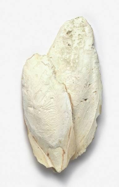 Carbonate Photograph - Cuttlefish Bone by Dorling Kindersley/uig