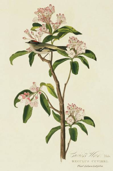 Kalmia Photograph - Cuvier's Kinglet Bird by Natural History Museum, London/science Photo Library