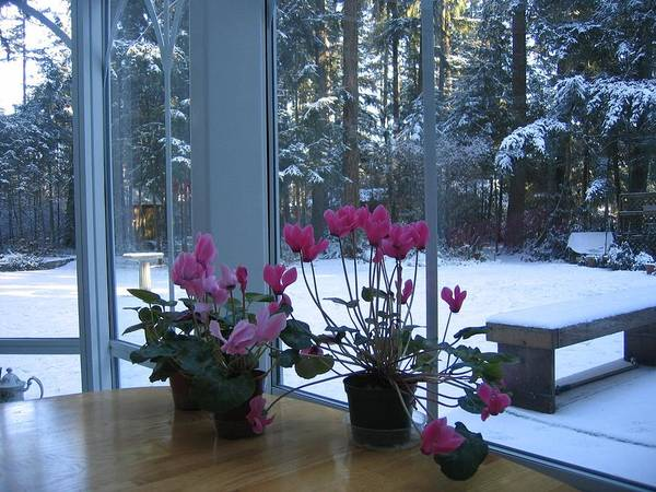 Wall Art - Photograph - Cyclamen And Snow by Pat Yager