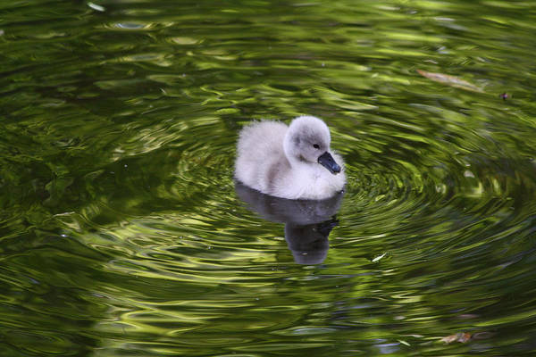 Photograph - Cygnet Swimming by Jean Clark