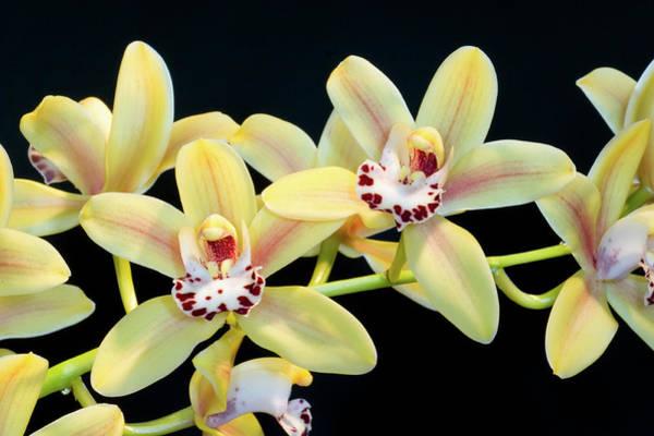 Cymbidium Photograph - Cymbidium Orchid (cymbidium Sp.) by John Devries/science Photo Library