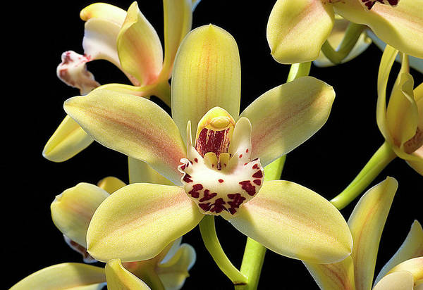 Cymbidium Photograph - Cymbidium Orchid by John Devries/science Photo Library