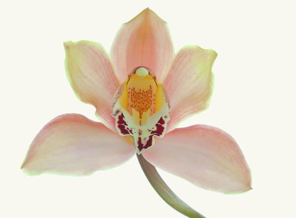 Cymbidium Photograph - Cymbidium Orchid On A Parchment by Margaret Rowe