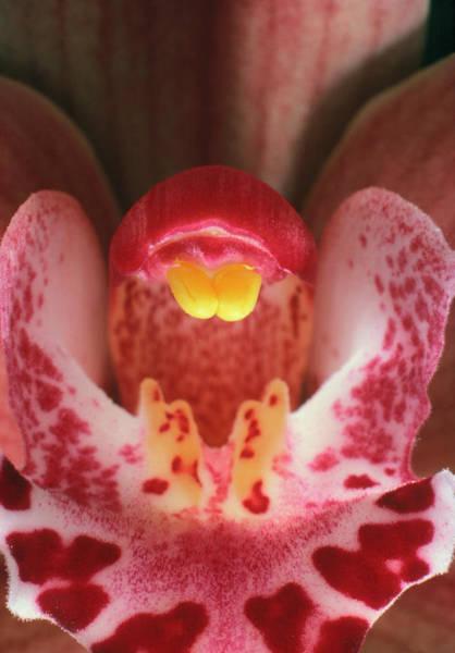 Cymbidium Photograph - Cymbidium Orchid Showing Pollinia by Dr Jeremy Burgess/science Photo Library