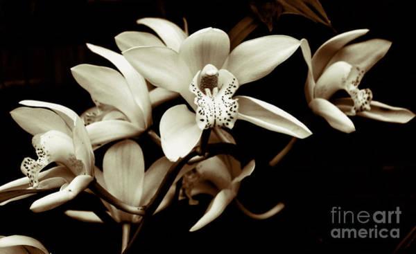 Cymbidium Orchids Art Print
