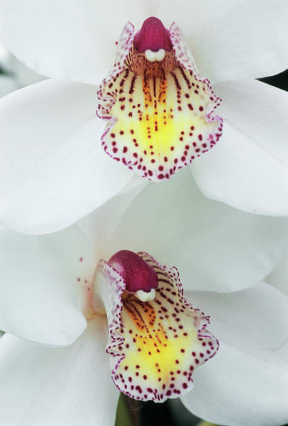 Cymbidium Photograph - Cymbidium 'rembrandt' Orchid by Anthony Cooper/science Photo Library