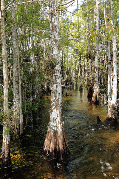 Photograph - Cypres Swamp-1 by Rudy Umans