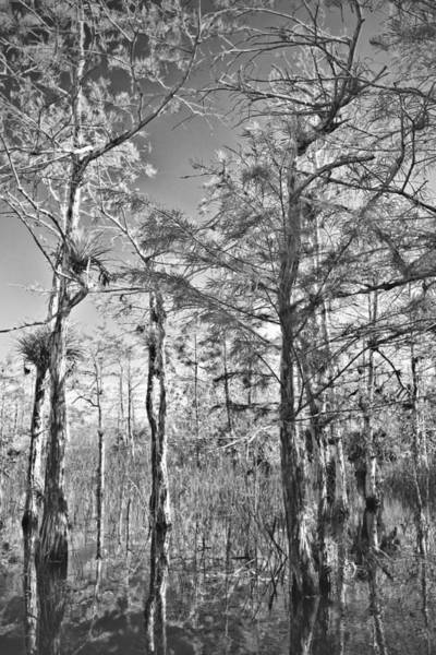 Photograph - Cypres Trees Bw by Rudy Umans