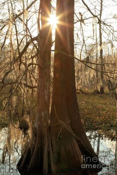 Photograph - Cypress Sunburst by Adam Jewell