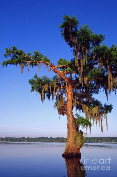 Photograph - Cypress Tree Blue Sky by Thomas R Fletcher