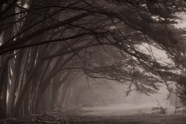 Fort Bragg Photograph - Cypress Trees At Misty Morning, Fort by Panoramic Images
