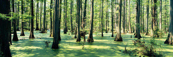Mottled Wall Art - Photograph - Cypress Trees In A Forest, Shawnee by Panoramic Images