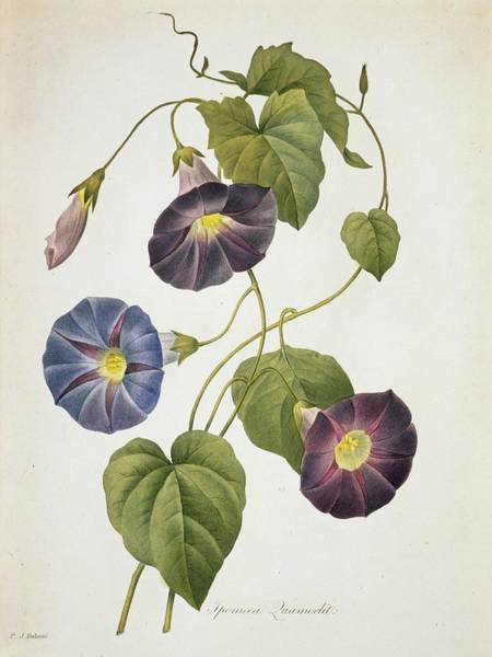 Aquatint Photograph - Cypress Vine Ipomoea Quamoclit by Natural History Museum, London/science Photo Library