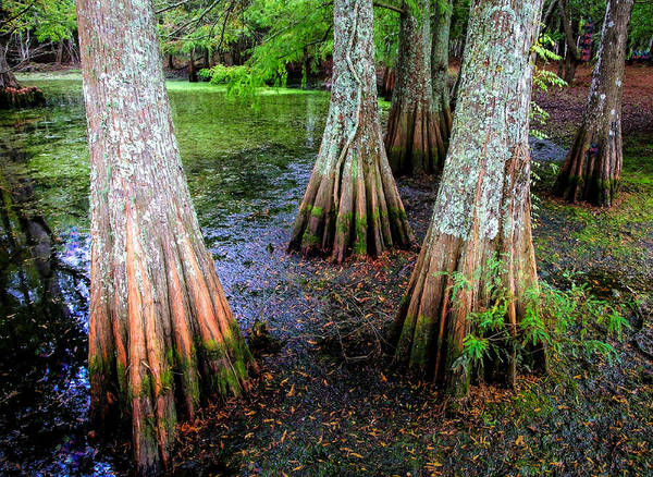 Photograph - Cypress Waltz by Karen Wiles
