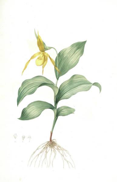 Nerves Drawing - Cypripedium Flavescens by Artokoloro