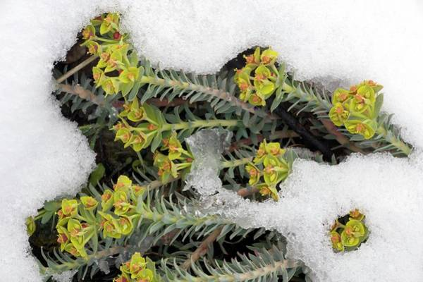 Cyprus Wall Art - Photograph - Cyprus Spurge (euphorbia Veneris) In Snow by Bob Gibbons/science Photo Library