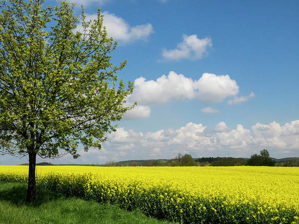 Canola Wall Art - Photograph - Czech Republic Lone Tree And Canola by Julie Eggers