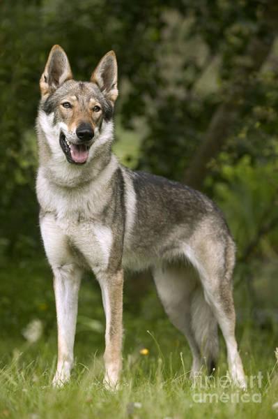 Czechoslovakian Photograph - Czechoslovakian Wolfdog by Jean-Michel Labat