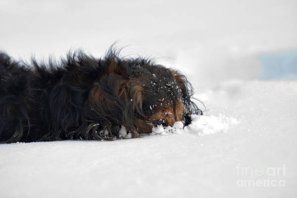 Wall Art - Photograph - Dachshund In The Snow by Michal Boubin