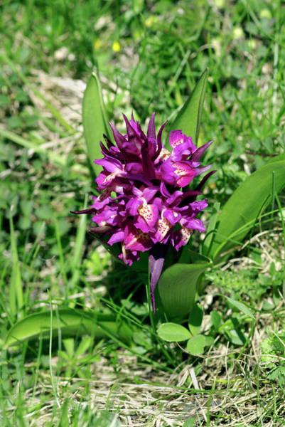Elder Photograph - Dactylorhiza Sambucina Orchid by Brian Gadsby/science Photo Library