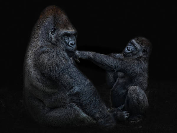 Monkey Wall Art - Photograph - Daddy Is A Left Hook Like This by Joachim G Pinkawa