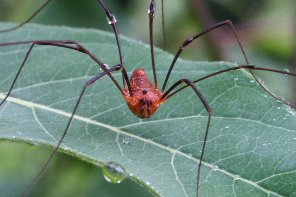 Harvestman Photograph - Daddy-long-legs by Paul Whitten