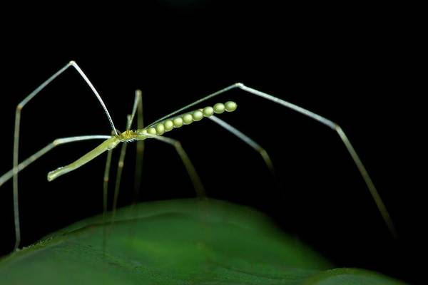 Daddy Long Legs Photograph - Daddy Long-legs Spider by Melvyn Yeo