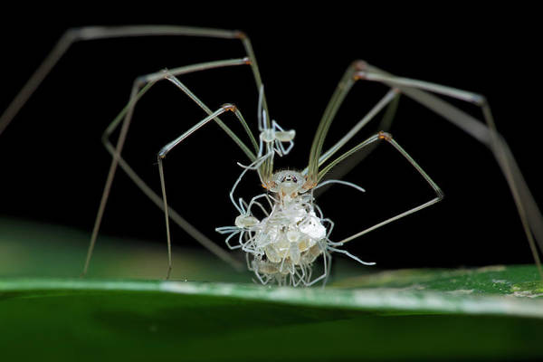 Daddy Long Legs Photograph - Daddy Long-legs Spider With Spiderlings by Melvyn Yeo