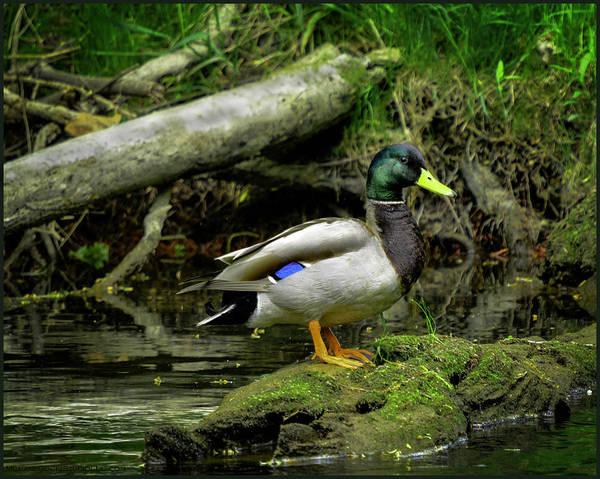Duck Meat Photograph - Daddy River Duck Mallard by LeeAnn McLaneGoetz McLaneGoetzStudioLLCcom