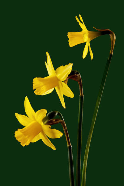 Photograph - Daffodil Arrangment by Pete Hemington