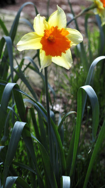 Photograph - Daffodil Bloom 2 by George Taylor