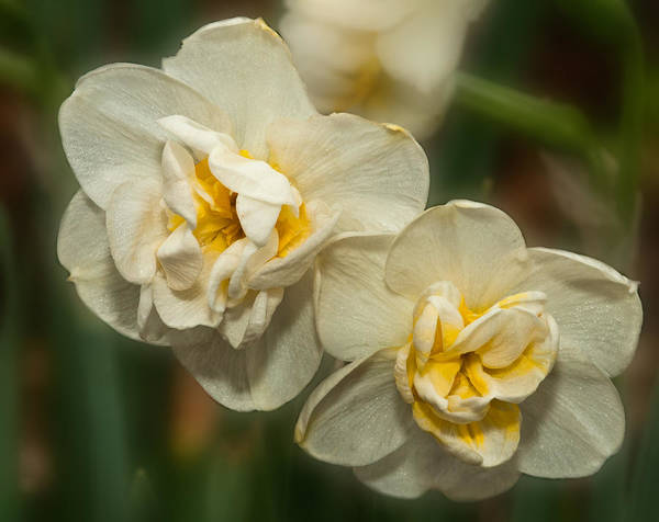 Photograph - Daffodil Doubles by Lara Ellis