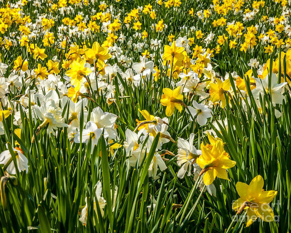 Photograph - Daffodil Field 1 by Susan Cole Kelly