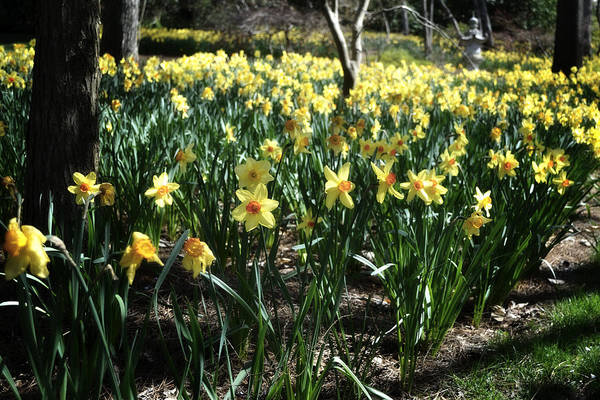 Photograph - Daffodil Field  by George Taylor