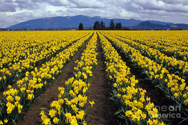 Photograph - Daffodil Field by Jim Corwin