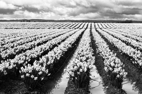 Black Narcissus Photograph - Daffodil Fields II by Mark Kiver