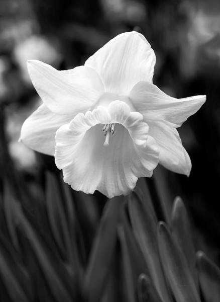 Black Narcissus Photograph - Daffodil Flower Black And White by Jennie Marie Schell