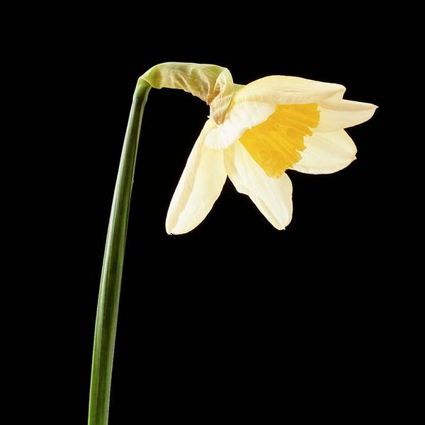 Sequence Photograph - Daffodil Flower Opening (5 Of 6) by Bjorn Svensson/science Photo Library