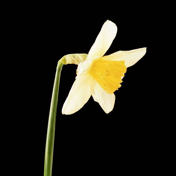 Sequence Photograph - Daffodil Flower Opening (6 Of 6) by Bjorn Svensson/science Photo Library