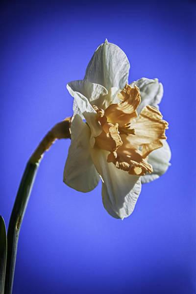 Wall Art - Photograph - Daffodil From Below by Nigel Jones