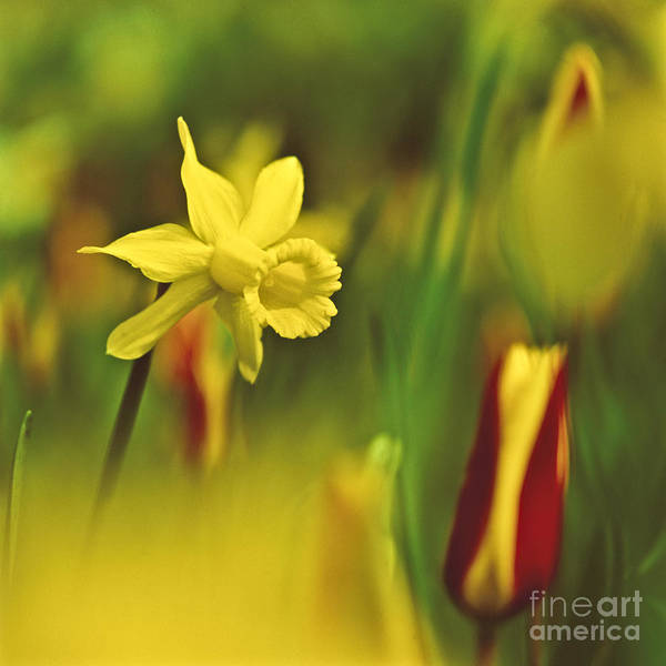 Photograph - Daffodil by Heiko Koehrer-Wagner