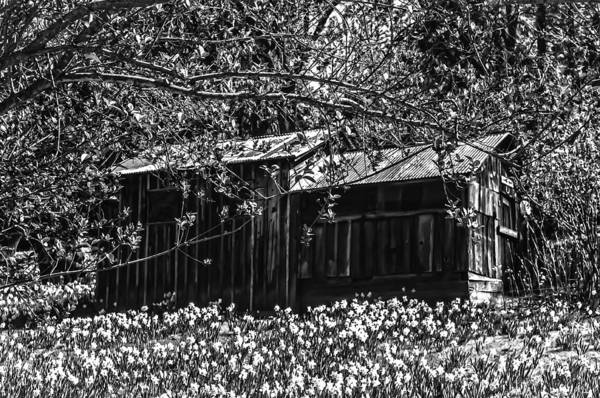 Photograph - Daffodil Hill Summer Cabin by Sherri Meyer