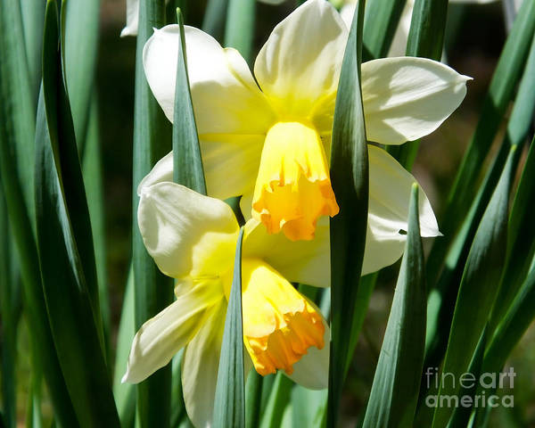 Photograph - Daffodil Hug by Kristen Fox