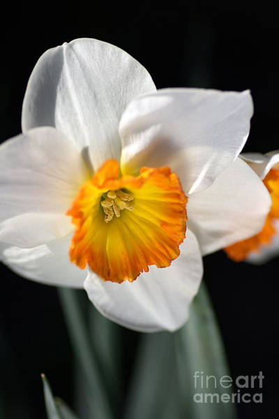 Daffodil In White Art Print