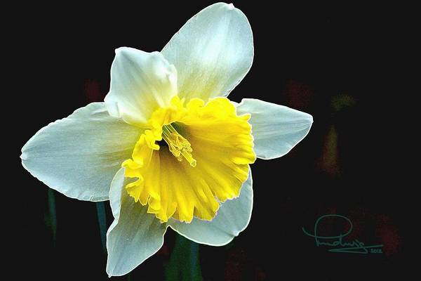 Photograph - Daffodil by Ludwig Keck