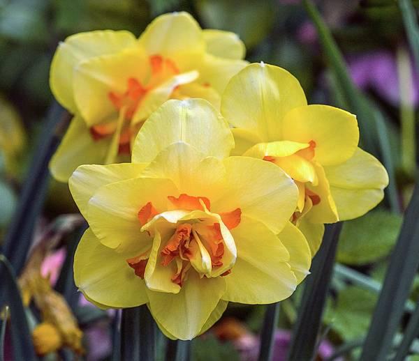 Tahiti Wall Art - Photograph - Daffodil (narcissus 'tahiti') by Brian Gadsby/science Photo Library