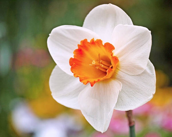Black Narcissus Photograph - Daffodil  by Rona Black
