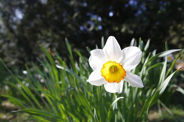 Dafodil Photograph - Daffodil by Steve Ball