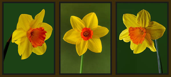 Photograph - Daffodil Triptych by Pete Hemington