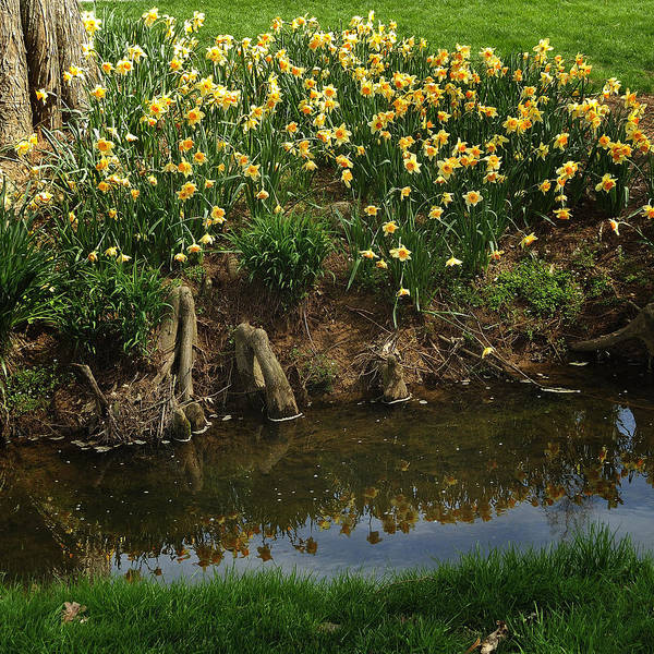 Photograph - Daffodils By A Stream by George Taylor